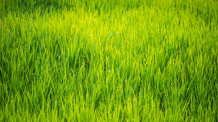 The rice fields background during the period of planting rice in the morning are wind-blowing and sunlight. In agriculture and environmental concepts