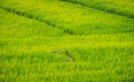 The Walking path in a lush rice paddy During the period of white planting in the morning and Sunny sun in agriculture and environment concept