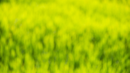 Abstract blur bokeh rice fields background during the period of planting rice in the morning are wind-blowing and sunlight. In agriculture and environmental concepts 写真素材