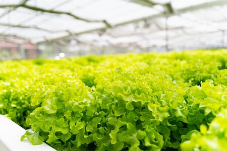 Hydroponics vegetables Green oak lettuce growing in plastic pipes at Smart farms with hydroponics systems are modern farming for healthy and quality in smart agricultural and smart farming concepts