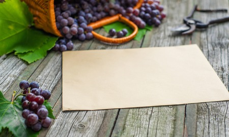 Basket with grapes beside secateurs on vintage rustic wooden table. Old paper template in centre wine making mock up. 写真素材