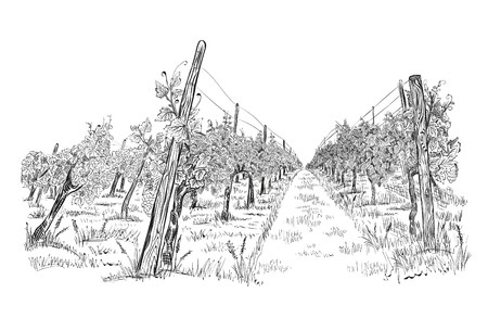 Vineyard landscape hand drawn sketch vector illustration isolated on white Zdjęcie Seryjne - 121734053