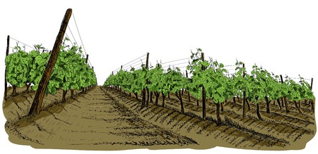 Vineyard landscape hand drawn sketch and painted in watercolor style. Vector illustration isolated on white