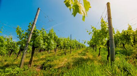 Landscape of vineyard on hill with rows of grapes bushes in sunny day. From down to up view