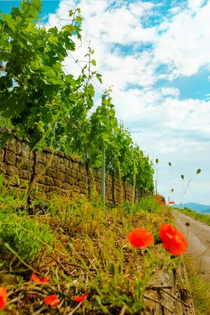 Landscape of vineyard on hill and road beside. Grape bushes with poppy on stone fence in sunny day.