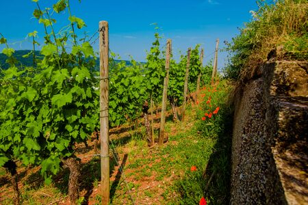 Vineyard on hill with stone fence. Landscape with poppy and blue sky