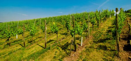 Landscape of vineyard on hill with rows of grapes bushes in sunny day.