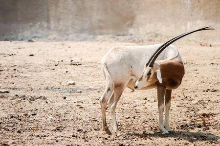 oryx: Sahara Oryx Stock Photo