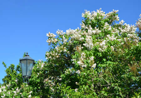 chinensis: Blooming white lilac bush against the blue sky, Prague