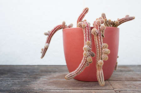 Cactus in pot on white background Stock fotó