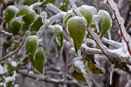 coldness: Leaves and branches of trees in winter covered with ice Stock Photo