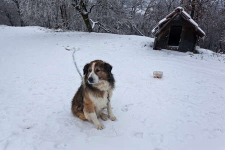 guard dog: Guard dog in the yard covered with snow