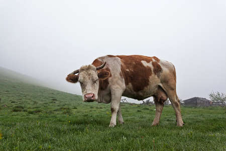 alp: Cow in the meadow in the mist on the grass covered with dew Stock Photo
