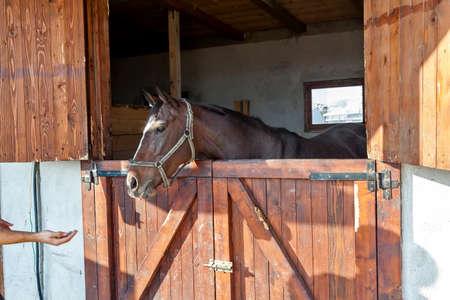 thoroughbred: English thoroughbred racehorse in box at ZOO Bor, Serbia, hippodrome, photo taken 23.10.2013.