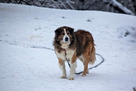 coldness: Guard dog in the yard covered with snow