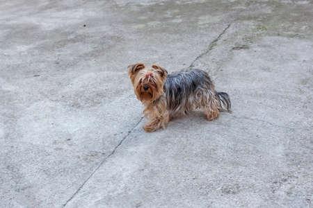 lapdog: A little fluffy dog in the backyard
