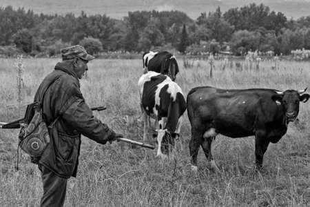 tending: Pavlikeni, Bulgaria - 21.6.2015.: An old man tending the cows Editorial