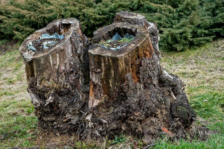 turned out: Trunks of oak, hollowed out and turned into flower pots