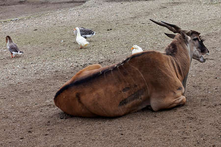 serbia: Antelope in the Belgrade ZOO Serbia Stock Photo