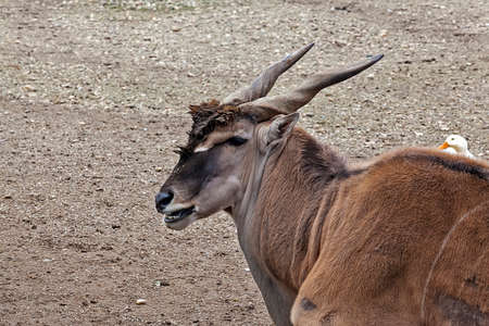 belgrade: Antelope in the Belgrade ZOO Serbia Stock Photo