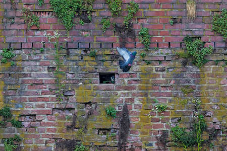 pigeon holes: Pigeons on a brick wall