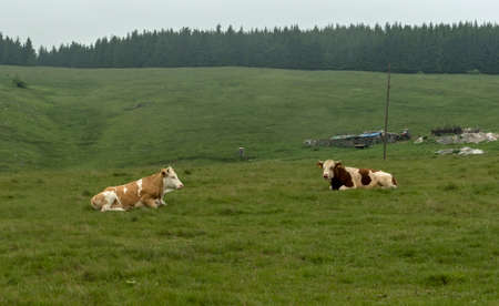Cows resting on a meadow in the mountains Stock Photo