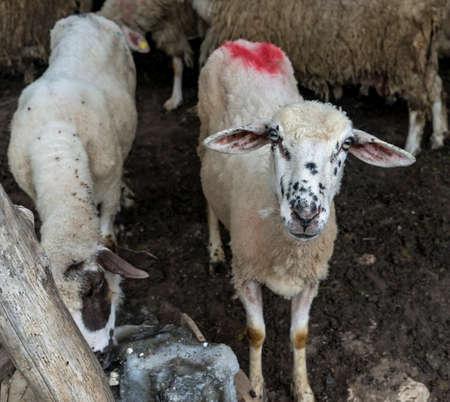 farmhouse: Sheep in a farmhouse Bacijenje Stock Photo