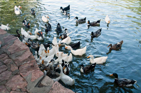chased: Lots of ducks swimming in water