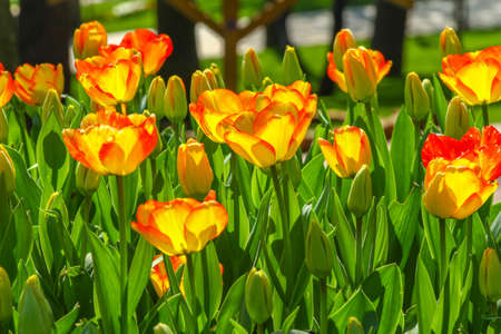 Side photo of yellow tulips. Some leads has red edges. Stock Photo