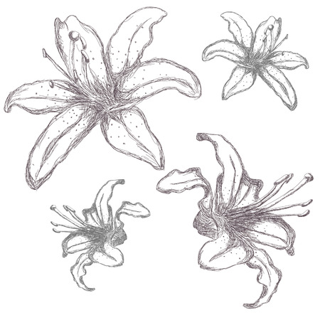 lilium: Hand drawn lilium flowers, illustration.