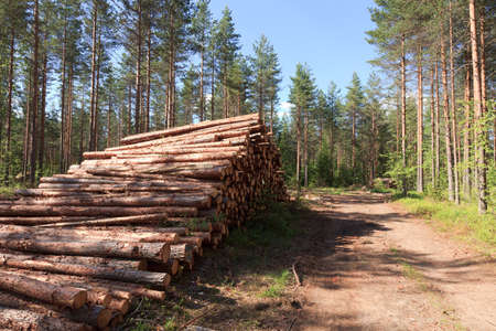 Pile of pinewood near a road made by logging machine photo