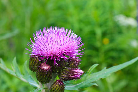 Thistle in bloom photo