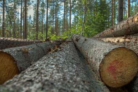 Stack of pine trees photo
