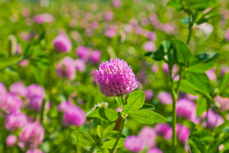 Red clover in a field photo