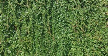 Green plant climbing a wall photo