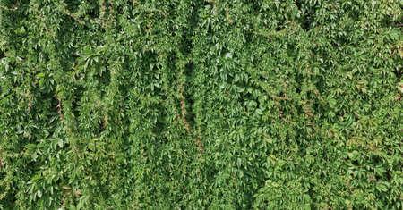Green plant climbing a wall photo