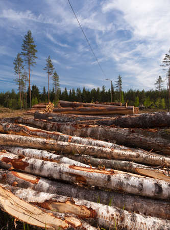 Piles of birch trees on a logging site photo