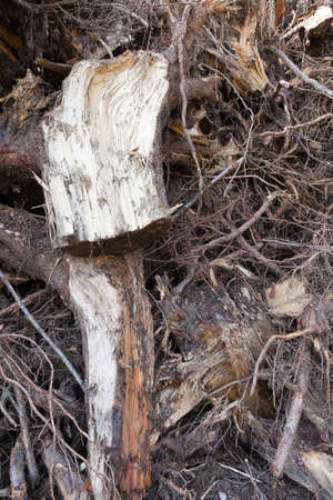 Roots of a tree ripped from a ground photo