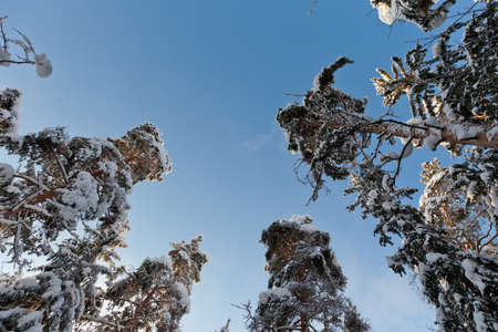 Snow covered pine trees from ground perspective Stock Photo - 13070212