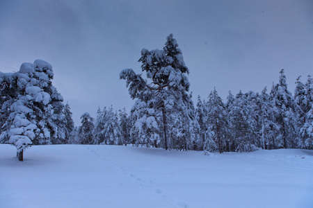 Pinetrees covered with heavy snow on a cloudy day Stock Photo - 13162661