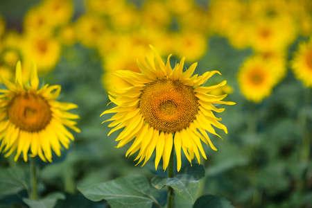 Sunflower field. Many yellow sunflower in a field Stock fotó