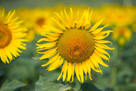 Sunflower field. Many yellow sunflower in a field