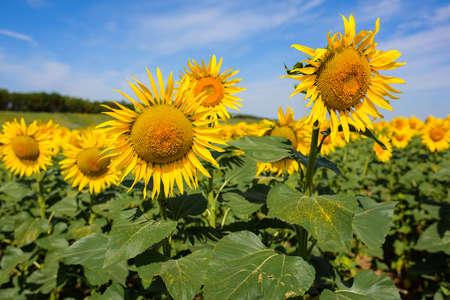 Sunflower field. Many yellow sunflower in a field