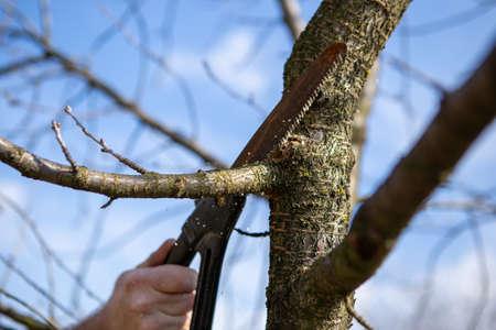 Nahaufnahme einer Arbeiterhand, die einen Zweig auf einem Obstbaum sägt. Es ist Frühling und es ist ein schöner Tag im Obstgarten.