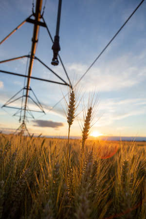 Focus on wheat ears. The wheat is ripe and ready for harvest. Behind is an irrigation system and the sky is blue. Stockfoto