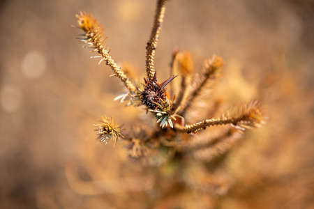 Selective focus on the top of coniferous trees. It's autumn and everything has dried up to become golden brown. Reklamní fotografie