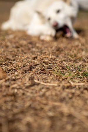 Selective focus on yellow dried grass and behind it is a white dog eating a bone. Copy Space. Pets