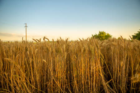 Focus on wheat ears. The wheat is ripe and ready for harvest. Behind is an irrigation system and the sky is blue. Stock Photo