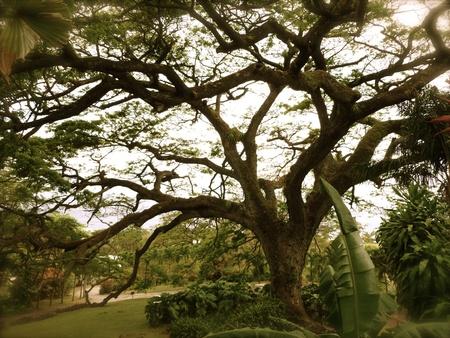 large: Old Tree, St. Kitts -Eastern Caribbean Stock Photo