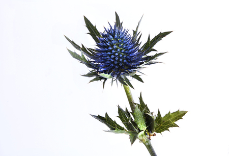 Blue Thistle on white background